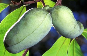 pawpaw fruit on a branch