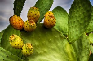 prickly pears seen from close up