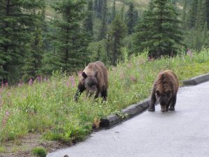 bears in wilderness