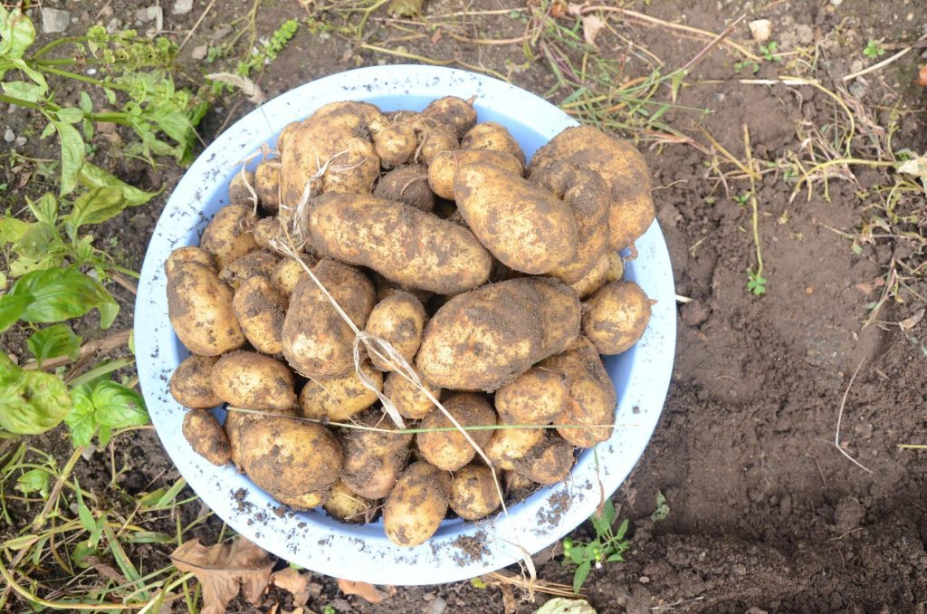 kitchen garden staple crops